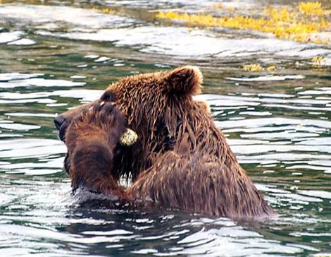 Медведь с камнем в лапах